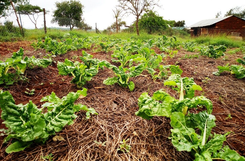 Empowering the Poor in Kenya: Creating Sustainable Solutions through Farming